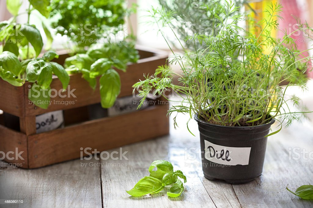 Indoor Herb Garden, Potted Container Plant by Window Sil