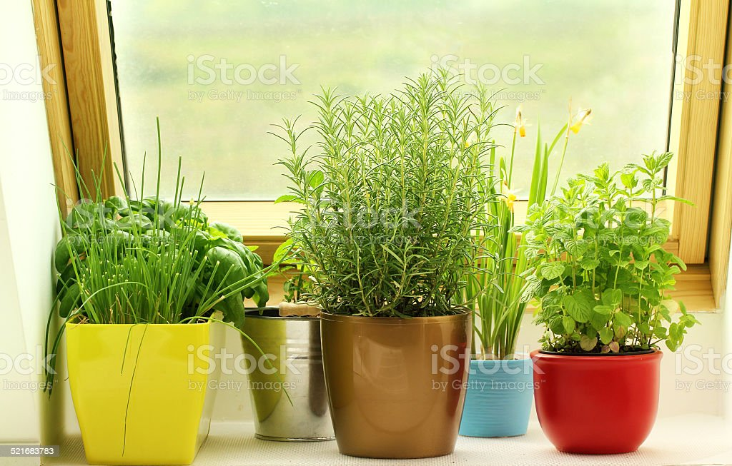 herbs growing on window stock photo