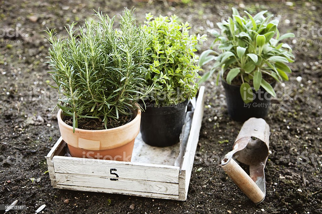 herbs in pots rosemary, oregano and sage stock photo