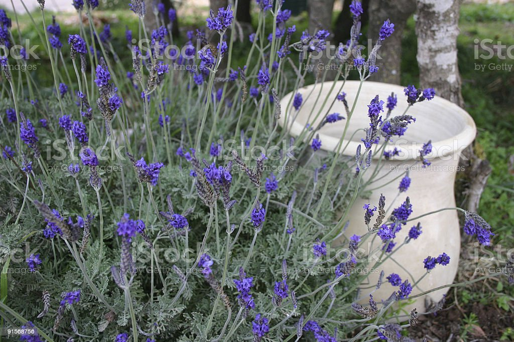 Herbs Lavender stock photo