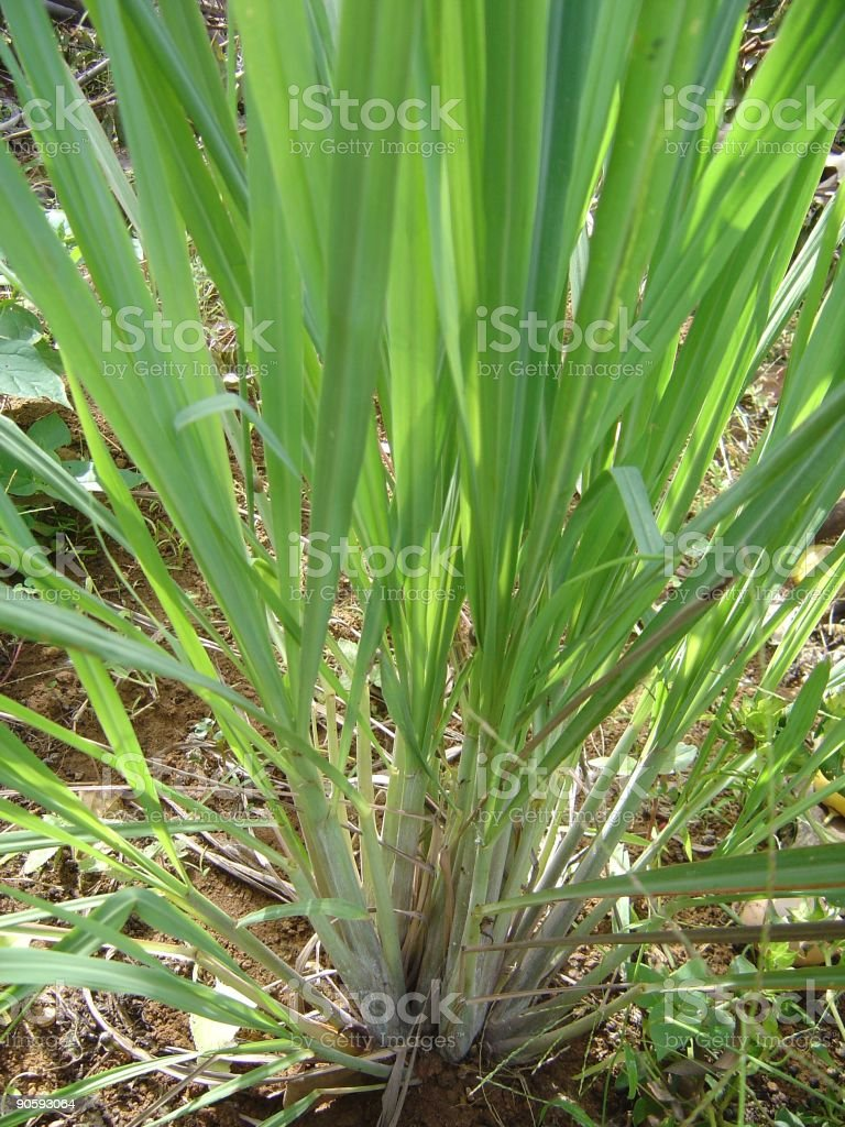Herbs Lemongrass stock photo