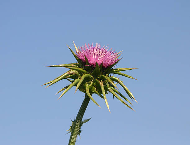 Herbs Milk thistle stock photo