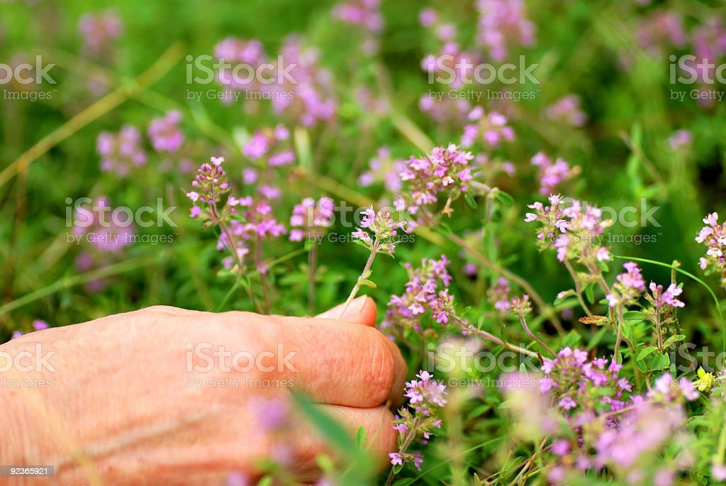 Herbs: Picking Thyme royalty-free stock photo