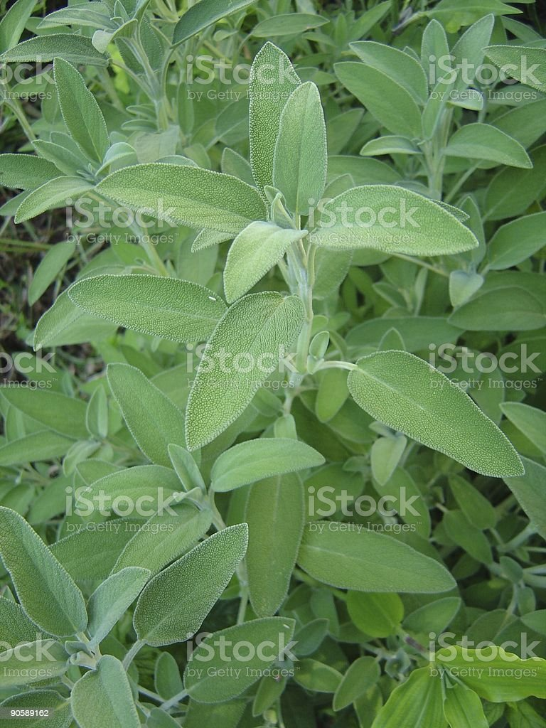 Herbs Sage stock photo