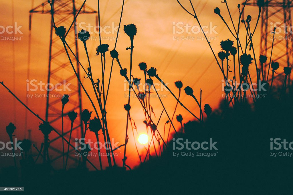 Herbs silhouettes at sunset with power line at the background stock photo