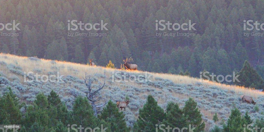 Herd Bull stock photo