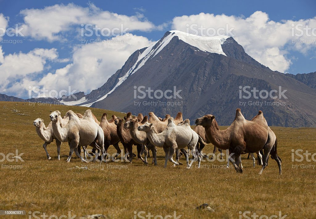 Herd camels against mountain. Altay mountains. Mongolia stock photo