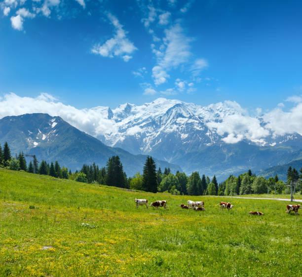 글레이드와 몽블랑 산 대산괴의 무리 젖소 - 몽블랑 뉴스 사진 이미지