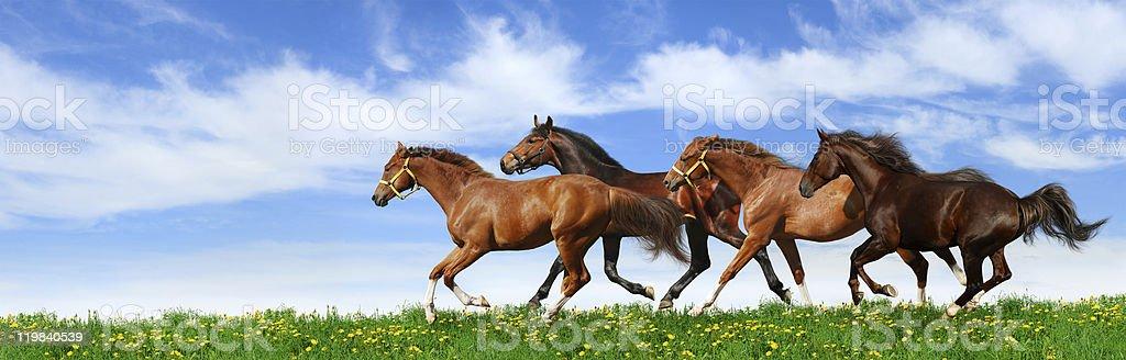 Herde gallops – Foto
