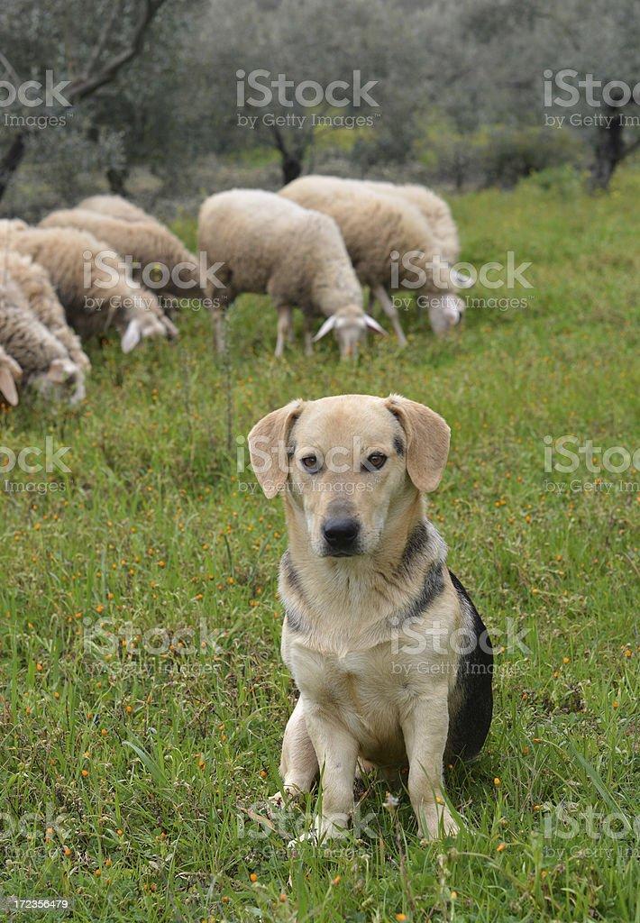 Herd Guard royalty-free stock photo