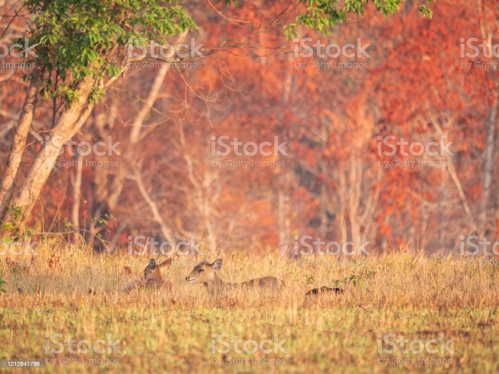 Herd Hog Deer Female In Forest In The Morning Time With Sunrise Animal Wildlife Nature Autumn Background Asia Thailand Stock Photo Download Image Now Istock
