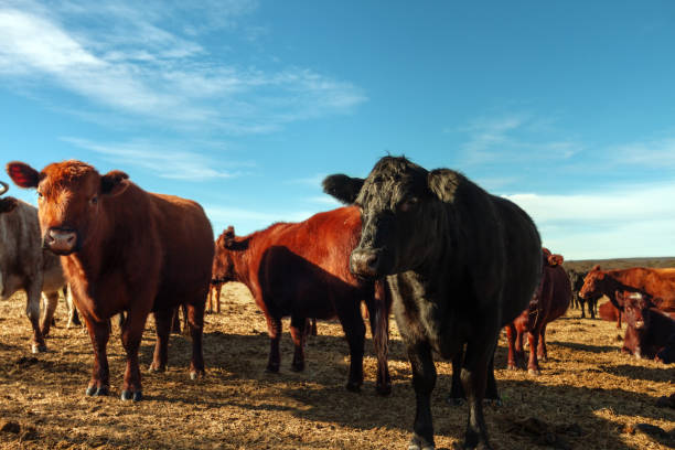 Herd of aberdeen angus cows resting in a field stock photo