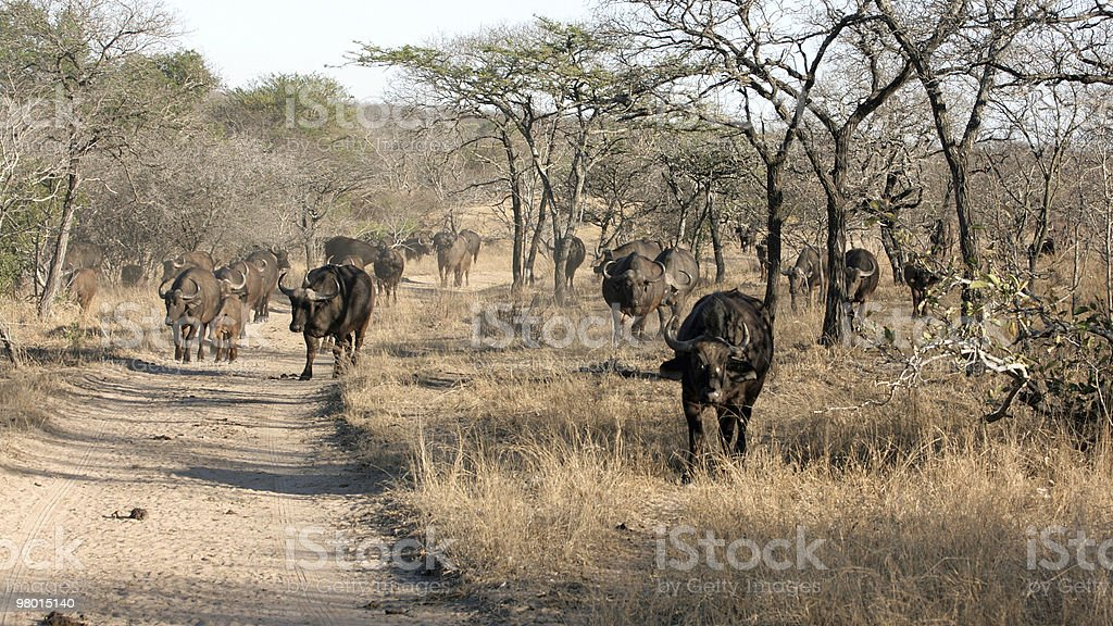 Herd of African Buffalo, Kruger National Park royalty-free stock photo