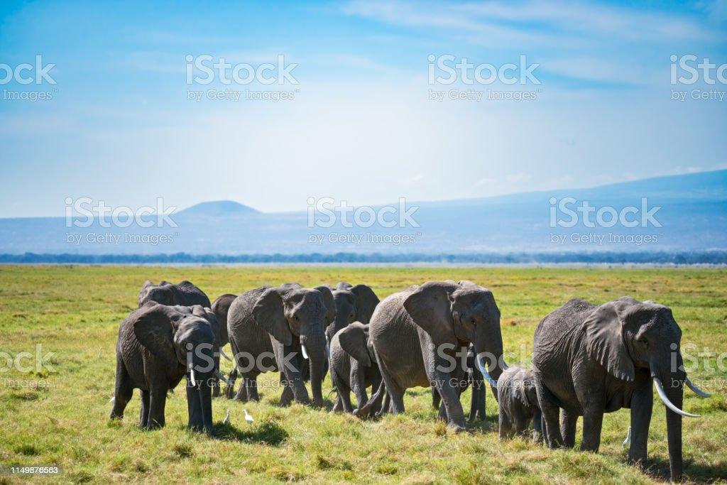 Herd of African elephants and egretta birds stock photo
