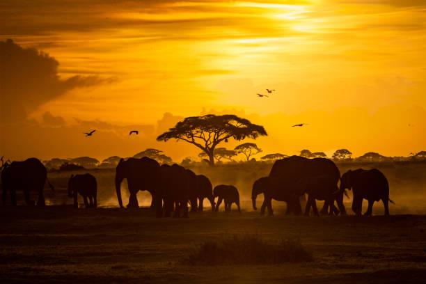 herde afrikanische elefanten beim goldenen sonnenuntergang - elefanten umriss stock-fotos und bilder