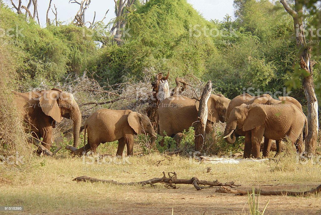 Herd of african elephants eating bush royalty-free stock photo