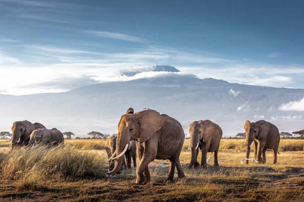 Herd of African Elephants in Front of Kilimanjaro stock photo