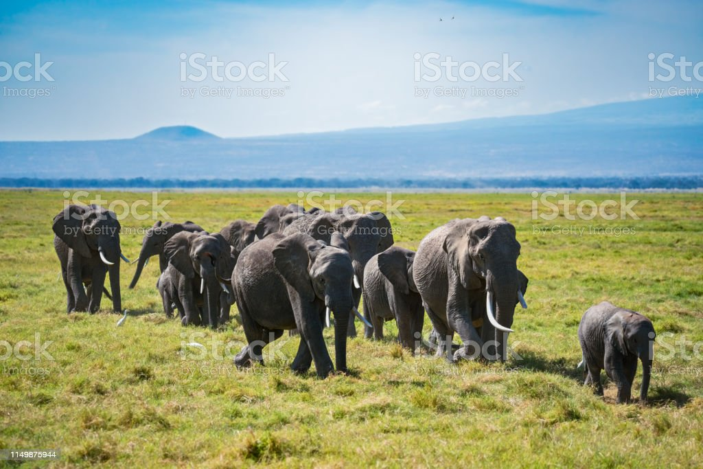 Herd of African elephants with calfs stock photo