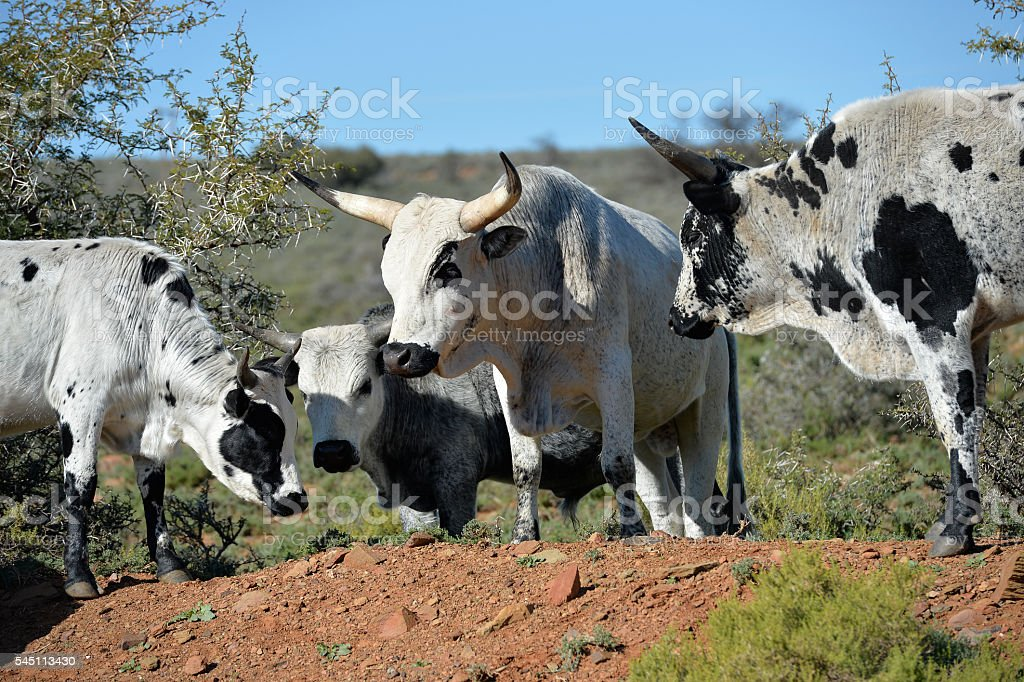 Herd of African Nguny Cattle stock photo