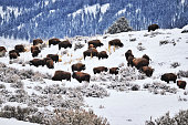Herd of  American bison grazing during the cold winter in  the Lamar Valley  in Yellowstone National Park.