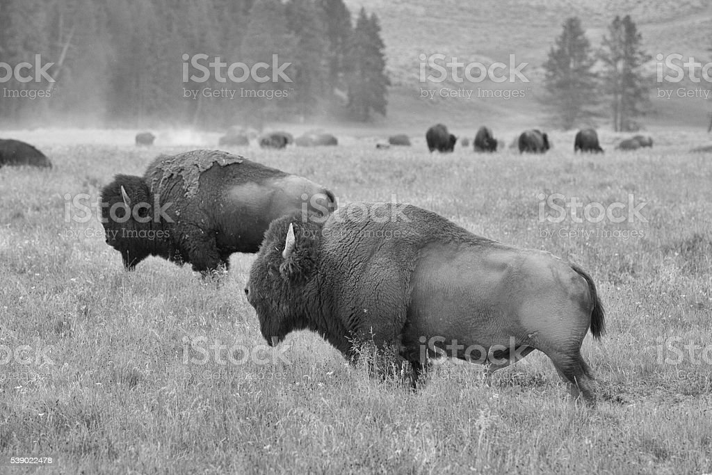 Herd of American Bison on the pasture in Grand Teton stock photo