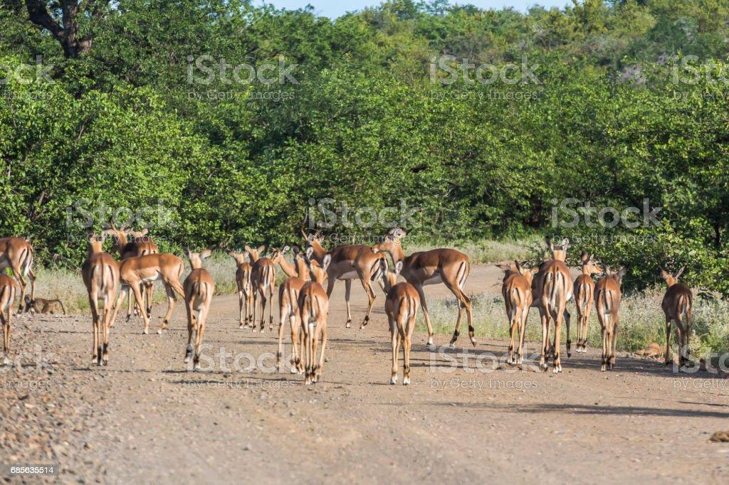 Herd of Antilopes together inside Kruger Park, South Africa royalty-free stock photo