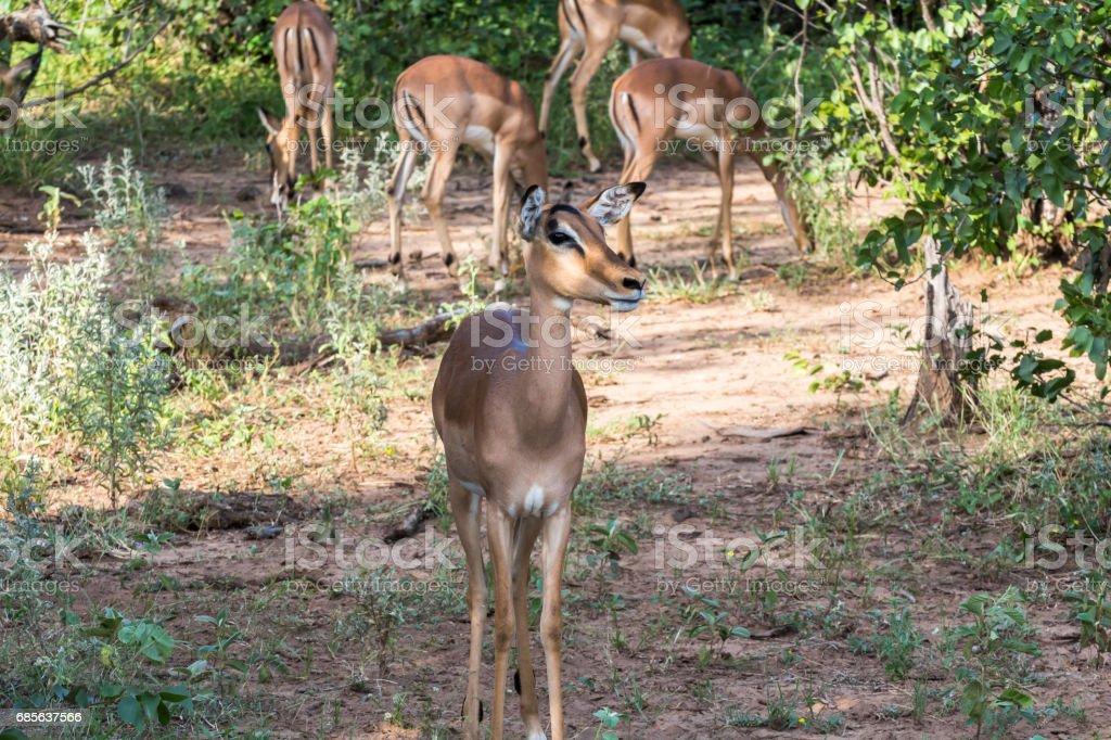 Herd of Antilopes together inside Kruger Park, South Africa royalty-free 스톡 사진
