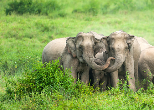 istock A herd of Asian Elephants are protectively a newborn elephant calf in the plain. 1142666178
