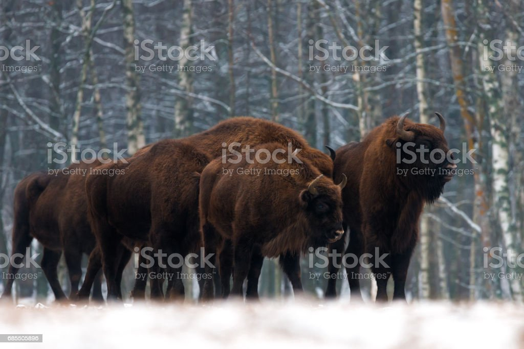 A herd of aurochs standing on the winter field. several large brown bison on the forest background.Some bulls with big horns on the background of the forest.Bestial gang. stock photo
