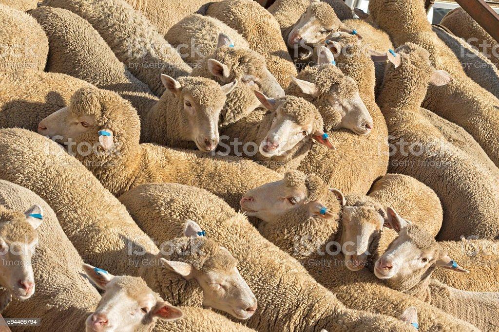 Herd of Australian sheep standing in sun on a truck stock photo