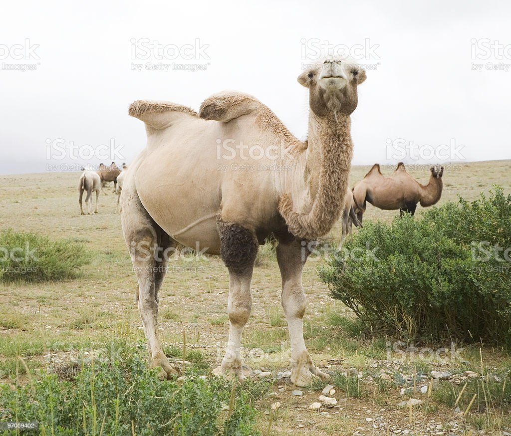 Herd of Bactrian camels stock photo