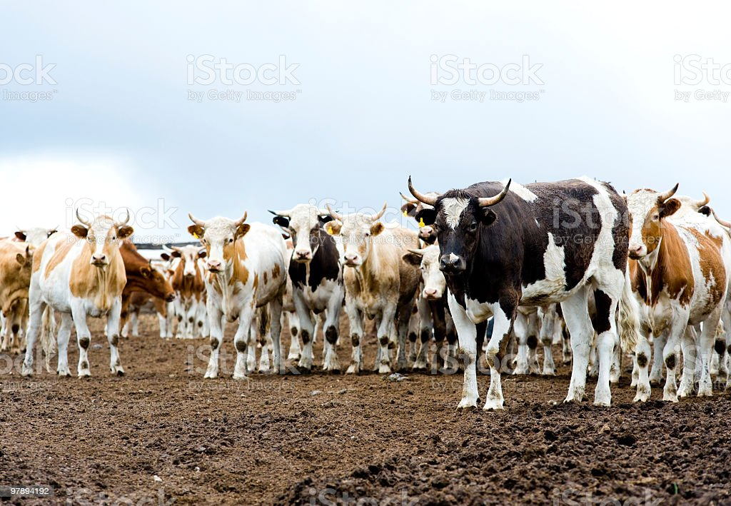 herd of beef cattle at farm royalty-free stock photo