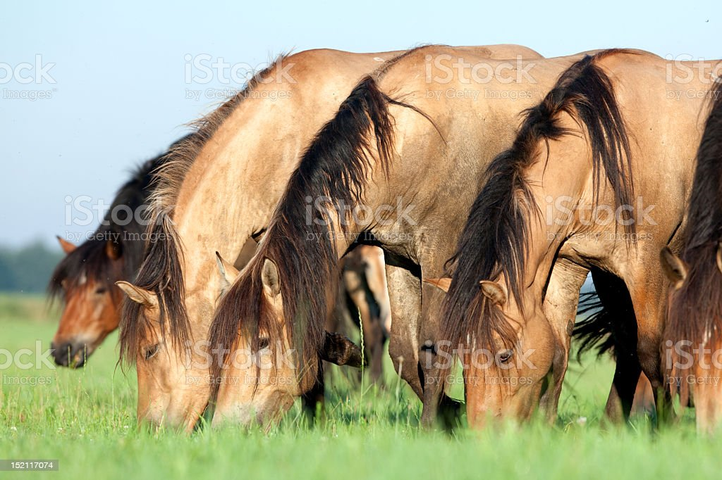 Herd of Belorussian horses royalty-free stock photo