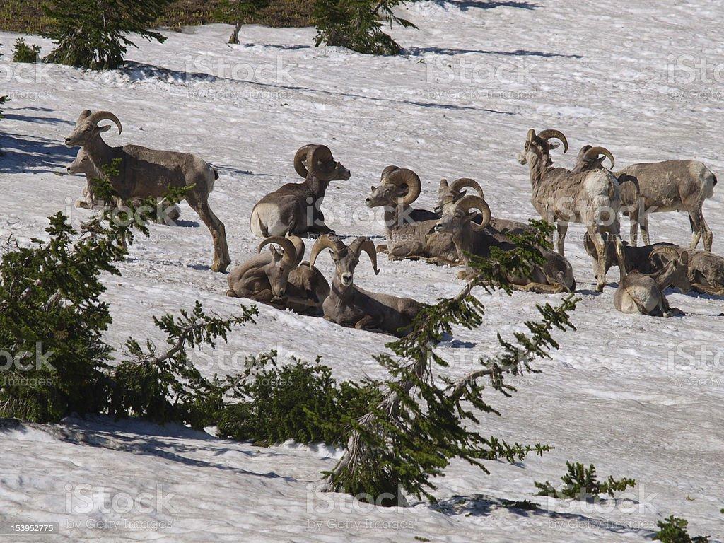 herd of bighorn sheep royalty-free stock photo