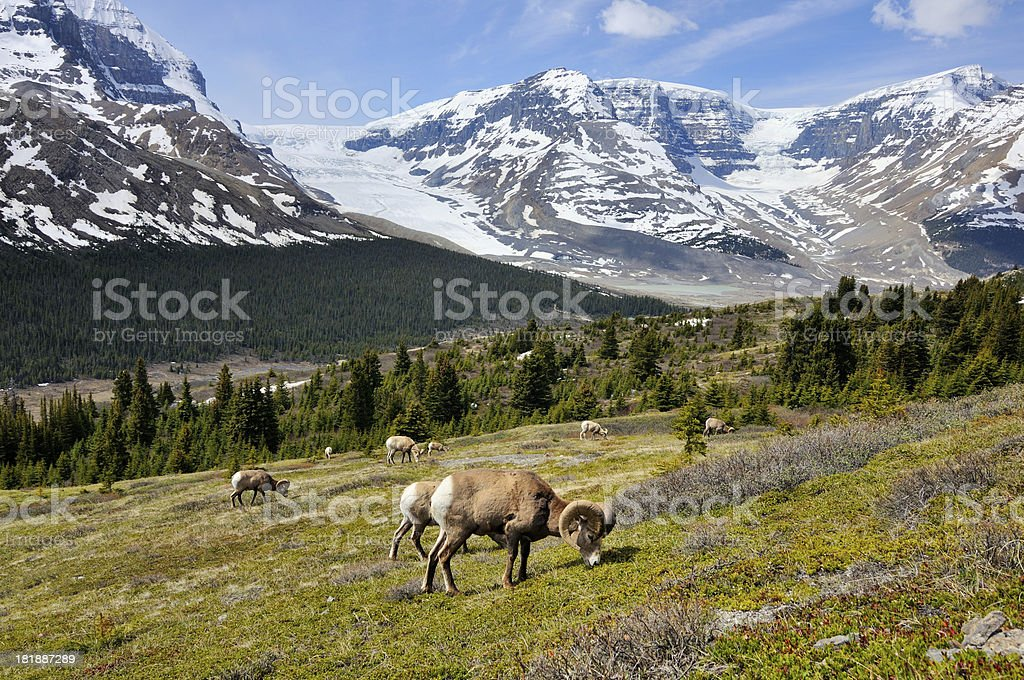 Herd of bighorn sheeps in Canadian Rockies, Banff, Canada royalty-free stock photo