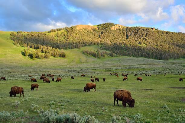 Herd of bison buffalo grazing bildbanksfoto