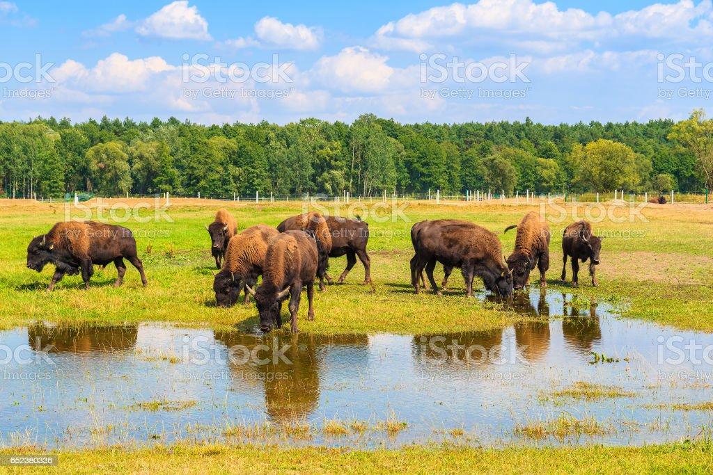 Troupeau de bison l'eau potable et le pâturage sur les Prairies, Pologne - Photo