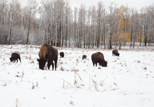 herd of bison on a snowy plain - cud stock pictures, royalty-free photos & images