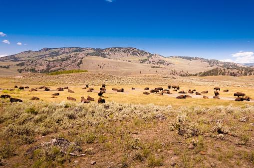 istock A herd of bison 888146168