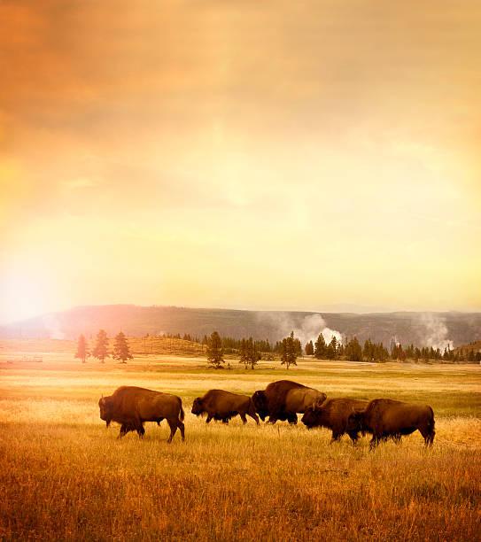 Herde von bisons im Yellowstone – Foto