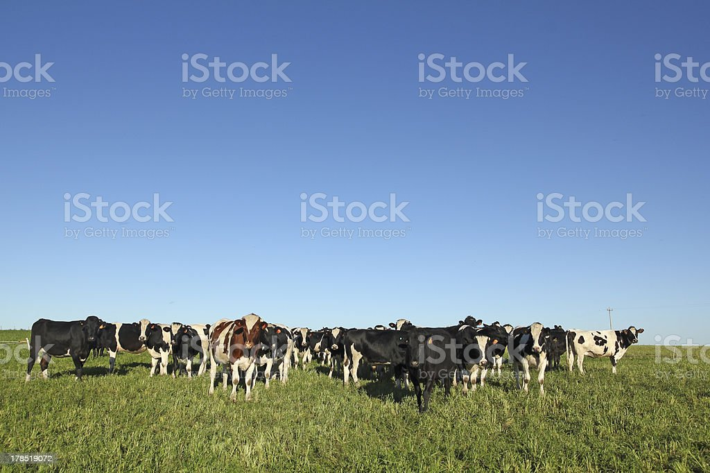 Herd of black and white cows on farmland in rural America stock photo
