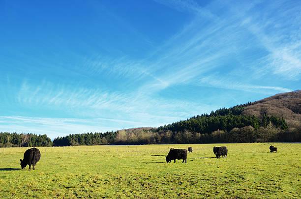 Herd of black angus cattle grazing on pasture stock photo