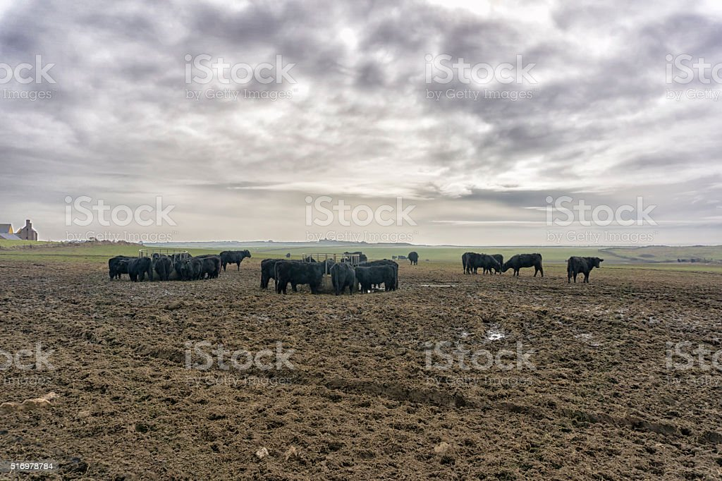Herd of  Black cows eating at  feeder in mucky field stock photo