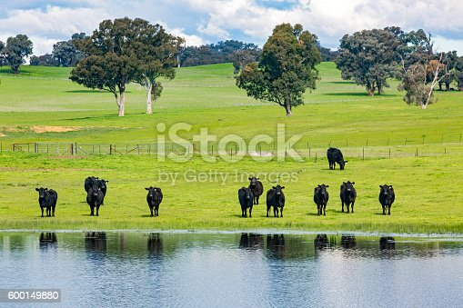Herd of black cows (cattle) in green pasture are partially reflected in water as they mostly stand watching the photographer.  Horizontal, ID tag info removed, copy space.