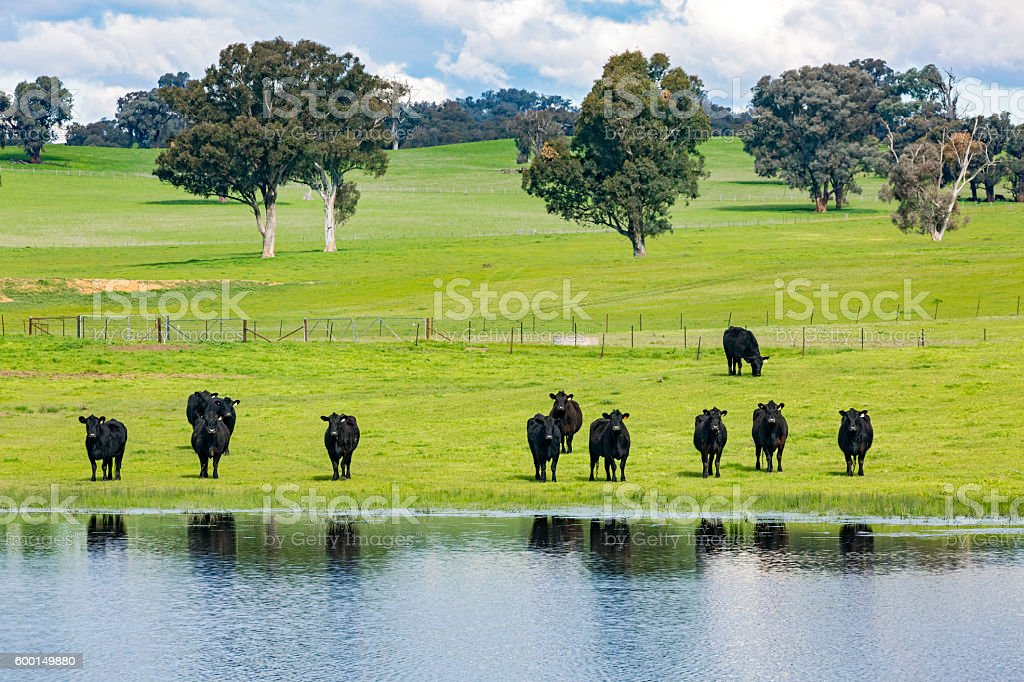 Herd of black cows in green pasture with water stock photo