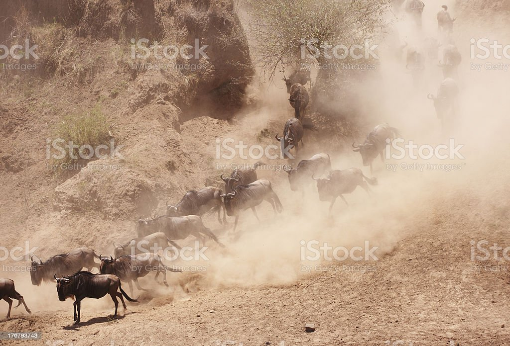 Herd of Blue Wildebeest (Connochaetes taurinus) stock photo