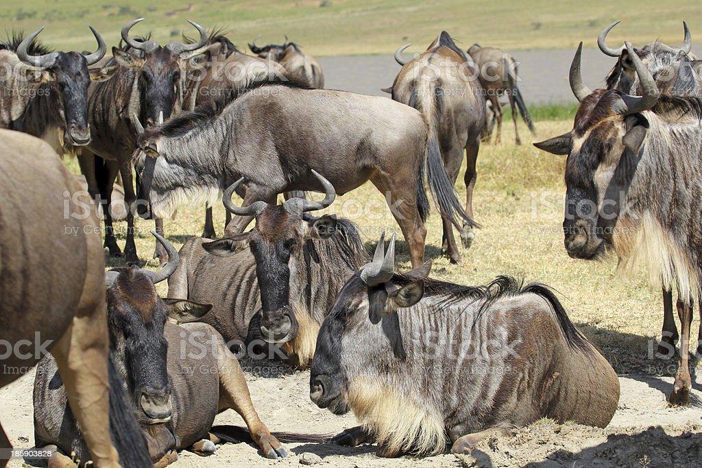 Herd of blue wildebeests royalty-free stock photo
