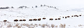 American Bison Herd (Bos bison, Bison bison) grazing in winter. Yellowstone National Park, Wyoming