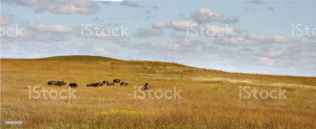 Herd Of Buffalo Grazing In The Kansas Tallgrass Prairie Preserve stock photo