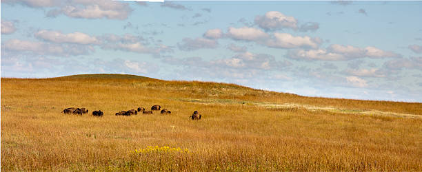 herd of buffalo grazing in the kansas tallgrass prairie preserve - great plains stock photos and pictures